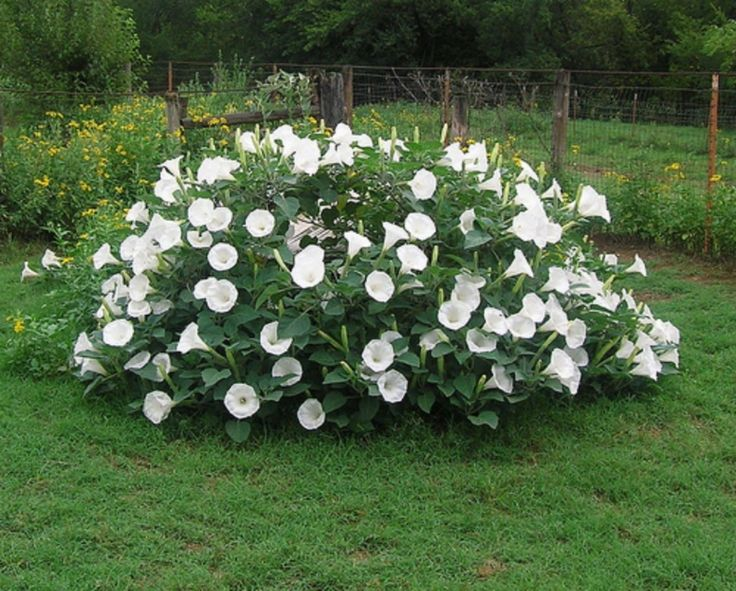 Details About Fragrant Moonflower Bush 20 Seeds This