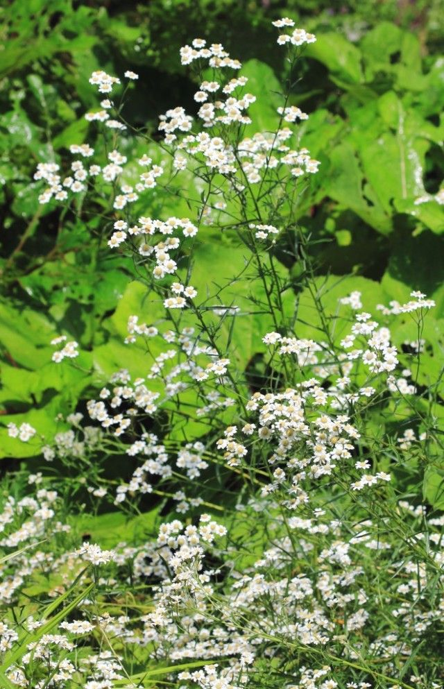 Тысячелистник птармика, или Чихотная трава, Чихотник обыкновенный