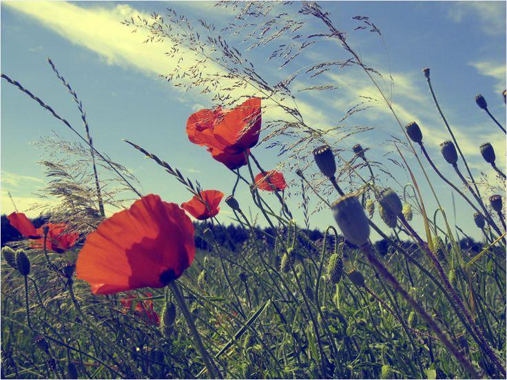 Kwiaty polskie - maki. by Natsza on DeviantArt