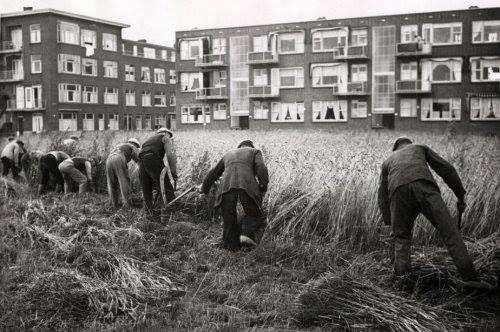 Tweede Wereldoorlog : Rotterdammers maaien / oogsten met sikkels rogge die verbouwd wordt in een woonwijk. Nederland, 14 augustus 1942.