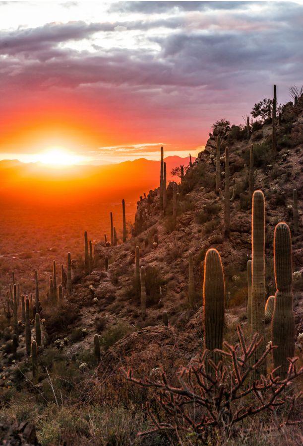 Tucson, AZ - Backlit Cactus - William Micol