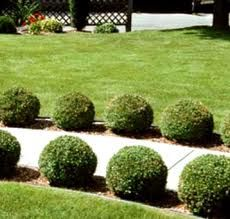 dwarf english boxwood - Google Search