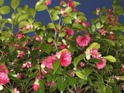 How to Root a Camellia