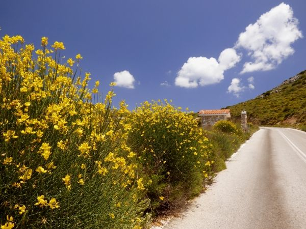 Country road with yellow bloom