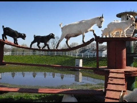 The Golden Goat Bridge! I can't wait to get my goat yard looking as fun as this one!