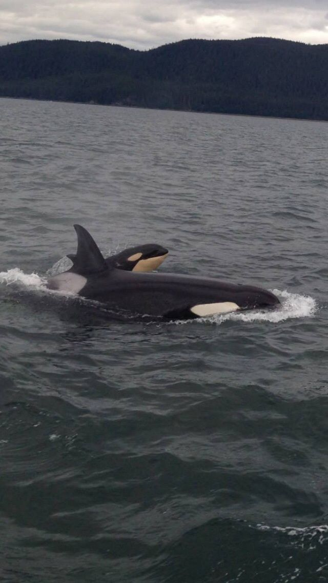 This baby killer whale my group spotted today is pretty ...