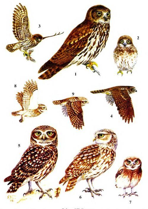 1-4 — Иглоногая сова (1 — взрослая птицу: 2 птенец в мезоптиле: 3-4 — птица в полёте); 5-9 — Домовый сыч (5 — взрослая птица подвида noctua; 6 — взрослая птица подвида bactriana; 7 — птенец в мезоптиле; 8-9 птица в полёте)