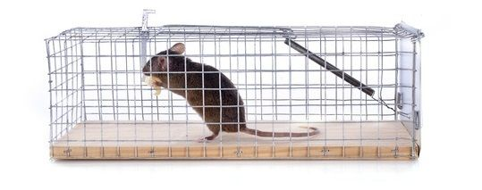 how to get rid of a mouse without killing it