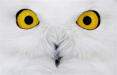 Comments Photographers, Beautiful, Winter Animal, Snowy Owls, White Owls, Germany, Owls Eye, Birds, Feathers Friends