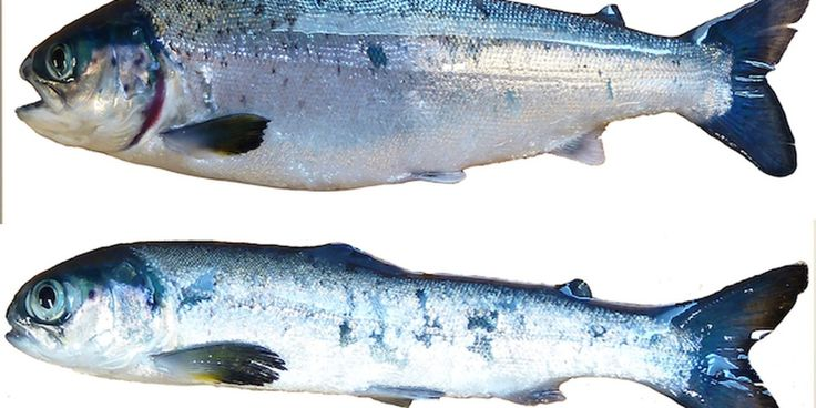 Stress and Depression Seen in Farmed Salmon - Farmed Atlantic salmon often suffer from such high levels of stress and depression that many become lethargic and essentially give up on life, finds new research.