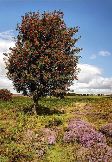 Rowan tree and heather... This is Scotland!
