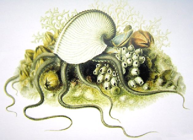 Aquarelle de Jeanne Villepreux représentant un argonaute vivant ...