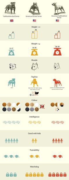What's the difference between: Staffordshire Bull Terrier, American Staffordshire Terrier, American Pitbull Terrier in Infografik