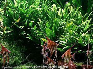 Java Fern-fancy Guppies Molly Fish Live aquarium plants