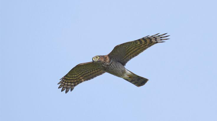 Charakteristisch für den Sperber sind vor allem seine gelben Augen.Durch die breiten, jedoch relativ kurzen Flügel und den langen Schwanz ist der Sperber nicht sonderlich schnell, dafür aber sehr wendig. Sperbermännchen sind oben graublau und auf der Unterseite weiß gesperbert. Die Rumpfunterseite ist meist orangerot, wobei die Ausprägung sehr verschieden sein kann. Die Weibchen sind im Vergleich zu den Männchen fast doppelt so groß, dafür aber nicht annähernd so farbenprächtig. Sie sind…