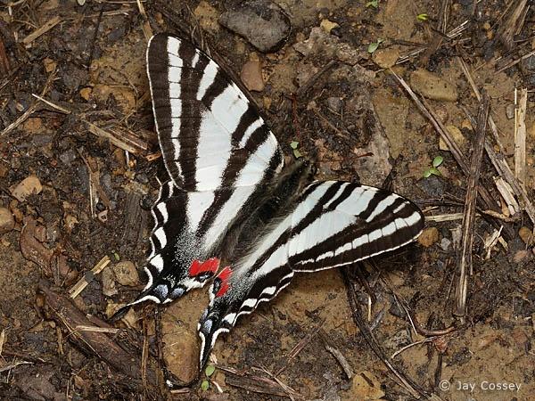 Zebras Swallowtail, Butterflies Dragonflies, Nature'S Butterflies, Butterflies Gallery, Swallowtail Swawne, Marcellus Spring, Butterflies Ladybugs Etc, Eurytid Marcellus, Spring Form