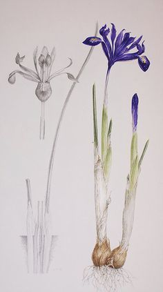 Botanical Illustration course