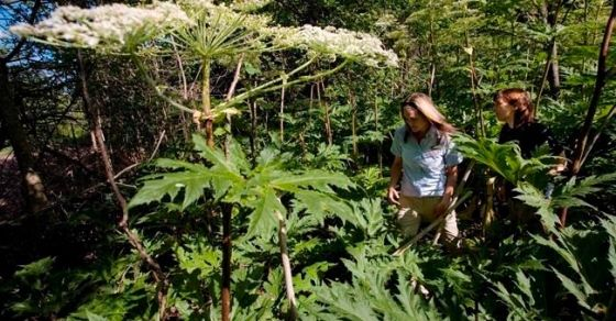 Burns and blindness: 'Very nasty' giant hogweed plant spreading in Canada