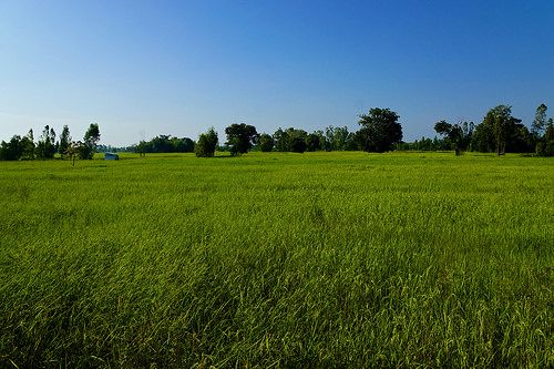 nice Morning in the rice field near a village in Surin province, Thailand