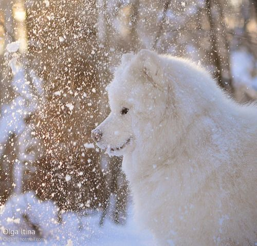 Samoyed puppies in snow