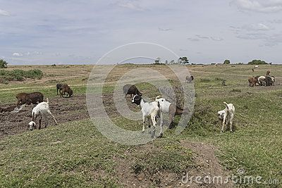 goats on the savannah in Kenya . Africa.