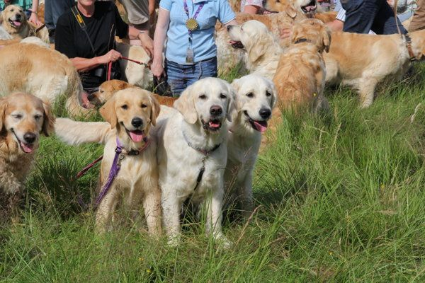 222 golden retrievers frolic in a field in Scotland.  The golden retriever and its history were feted by 222 goldens and their masters who gathered from around the globe for a celebration in the breed's ancestral Scottish Highlands home in July. According to PBS Newshour, the breed was born 1868 with genes from a yellow wavy-coated retriever and a now extinct tweed water-spaniel.