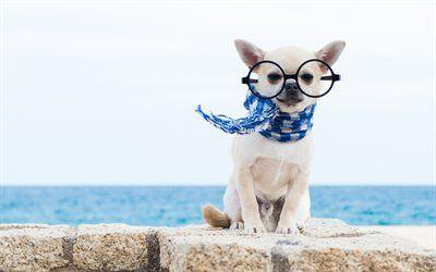 Descargar fondos de pantalla chihuahua, perros pequeños, simpáticos animales, mascotas, perros libre. Imágenes fondos de descarga gratuita