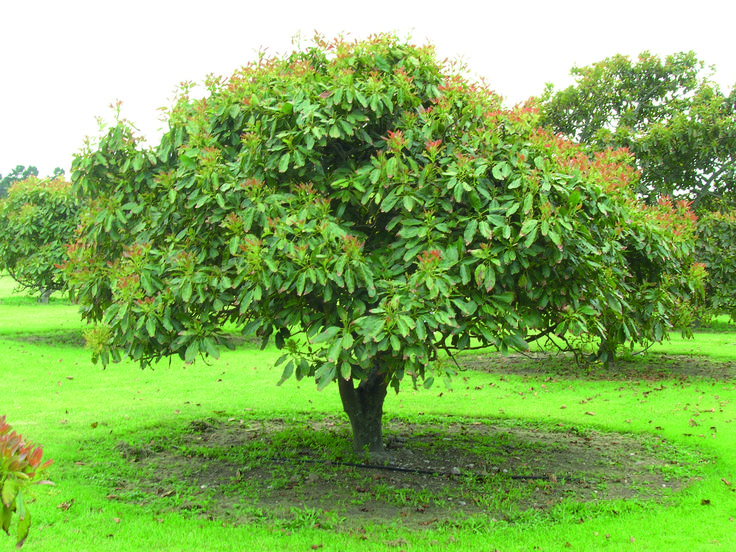 Avocado Tree Care