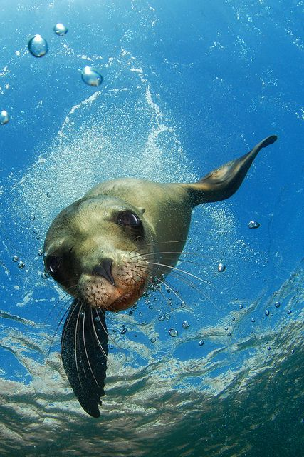Sea lions are so smart, you can actually see it in their faces when they recognize you and like you, are trying to cajole you into responding to them. They look so elegant when they swim and dive, I could watch them for hours.