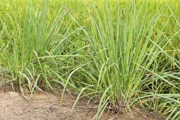 lemongrass has natural insecticides and keeps wasps away.