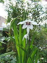 Znalezione obrazy dla zapytania acidanthera bicolor wikipedia