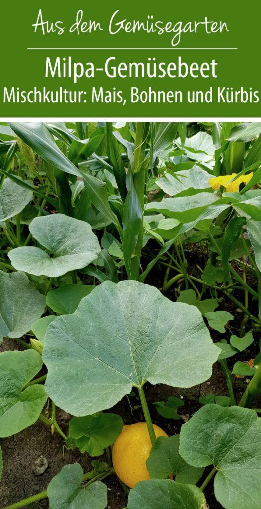 Milpa Mischkultur Aus Mais Bohnen Und Kurbis Gruneliebe Mischkultur Bohnen Pflanzen Bohnen Anpflanzen