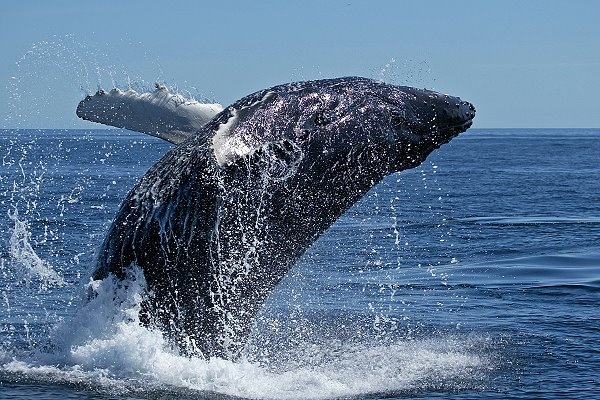 Wer Teneriffa (Tenerife) besucht, darf sich auf keinen Fall die Delfine und Wale entgehen lassen.  Im Bereich der Kanarischen Inseln konnten 27 verschiedene Wal- und Delfinarten nachgewiesen werden.  Teneriffa ist weltweit einer der idealsten Orte zur Wal- und Delfinbeobachtung. Nicht nur die alt eingesessenen Tümmler und Grindwale sind zu sehen, in Frühjahr und Sommer können hier auch Finnwale, Pottwale und unterschiedliche Delfinarten gesichtet werde.