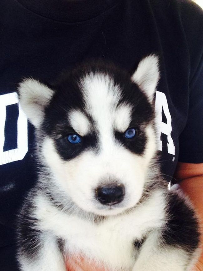 husky puppies for sale in indiana | Cute Puppies