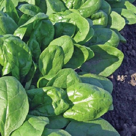 Buy Spinach Seeds - Amazon Online | Marshalls Seeds