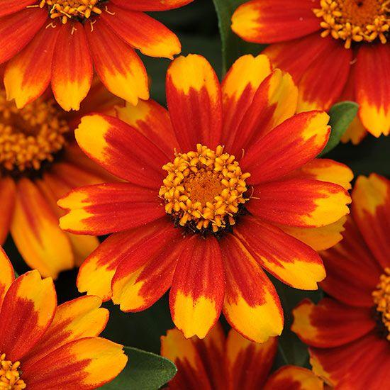 If you enjoy making fresh-cut bouquets from your garden, be sure to grow 'Zahara Sunburst' zinnia: http://www.bhg.com/gardening/flowers/annuals/the-best-new-annuals-for-2014/?socsrc=bhgpin042414zaharasunburstzinnia&page=6