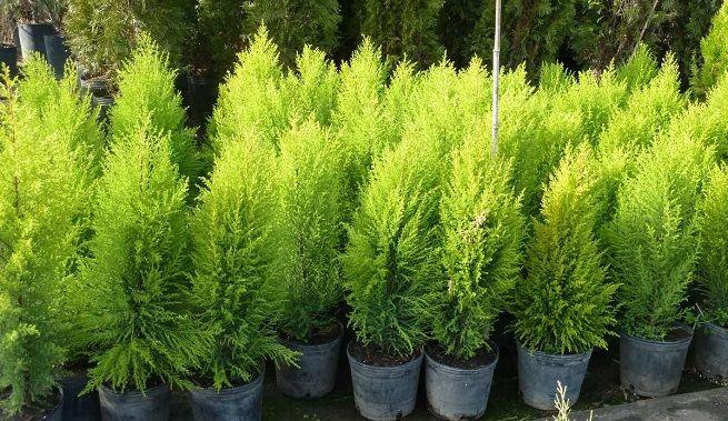 34 melhores imagens de arbustos para jardin no pinterest - Arbustos enanos para jardin ...