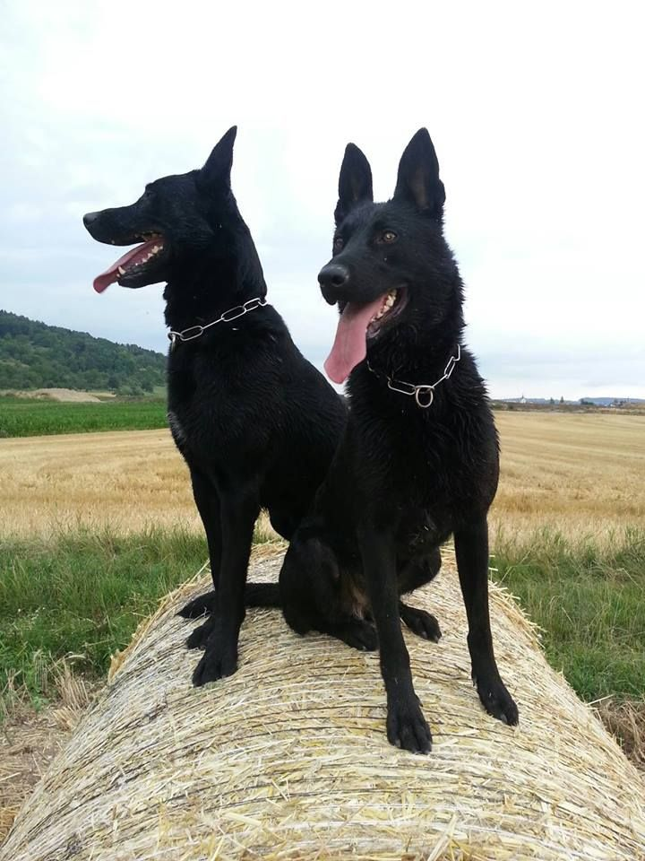 Black German Shepherds. I wish Sirius's ear stood up like this!