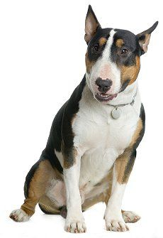 English Bull Terrier dog breed.  What's good about them.. W\hat's bad about them..g