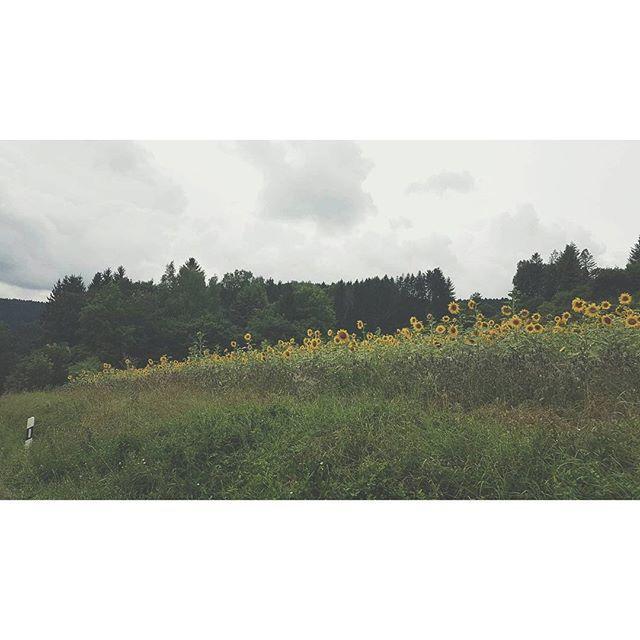 【neko_miju】さんのInstagramをピンしています。 《🌻🚗 #sonnenblume #drivingaround #summer #sunflowers #bluesky #clouds #family #travel #warm #sun #blackforest #schwarzwald #photography #tumblr #throwback #vacation #familytime #happy #구름 #여름 #여행 #숲 #아름다운 #가족여행 #向日葵 #美  #天 #森林》