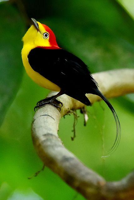 Rabo de arame, Dançador de cauda fina, Irapuru, Irapuru de cauda longa, Tangará, Uiramirim ou Uirapuru de cauda longa (Pipra filicauda)