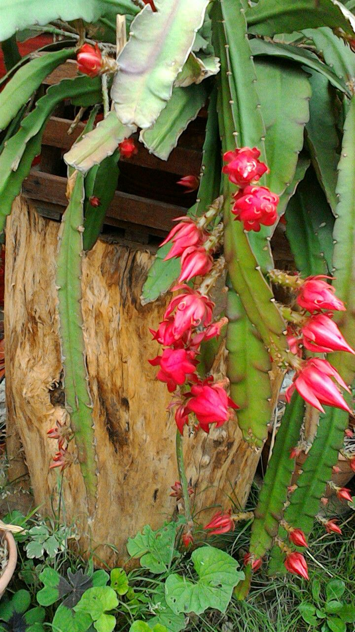 Kaktuszviragzas,