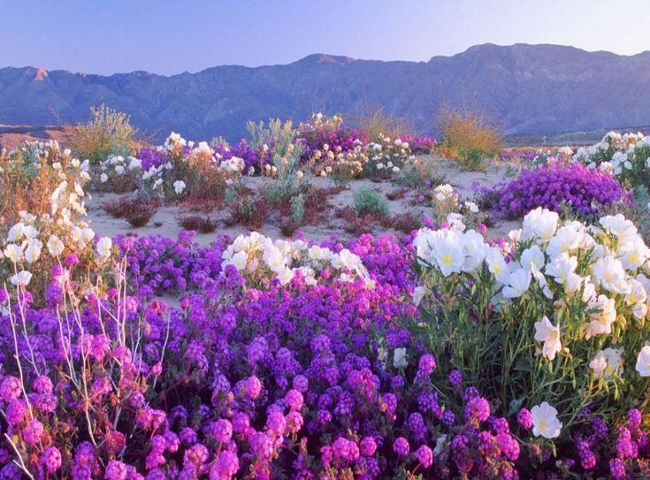 """"""" Flowering Desert, Atacama Desert, Chile """""""