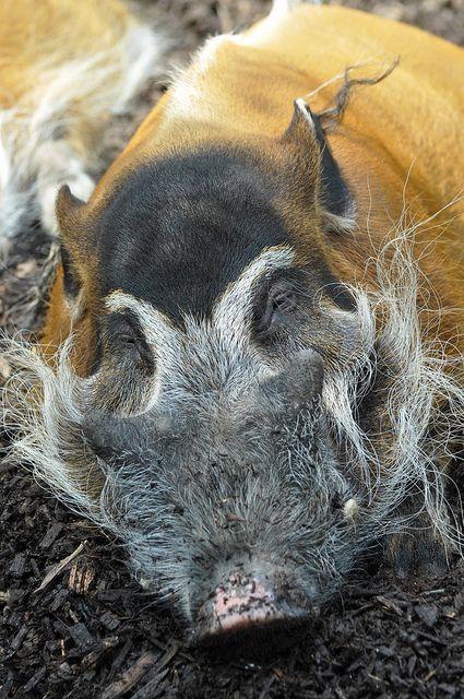 Red River Hog by Truus & Zoo, via Flickr