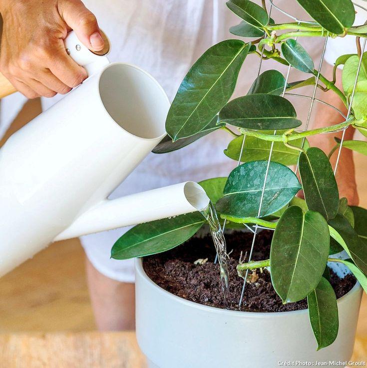 Arrosage Des Plantes D Intérieur Ajouter éventuellement De L Engrais Liquide à