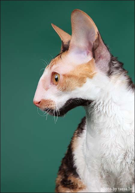 Cornish Rex (Kuva: Tessa)