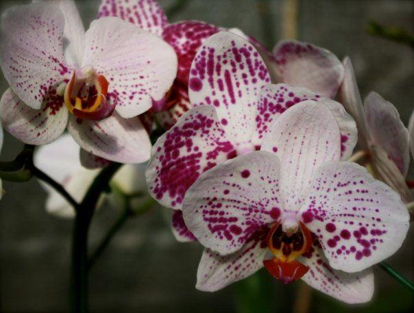 Exista sute de specii de orhidee . Sunt plante deosebit de frumoase, care nu cer ingrijiri sau conditii deosebite si care ne pot infrumuseta casele tot timpul anului. Pentru asta este nevoie sa respecti cateva lucruri. Specialistul nostru, dr....