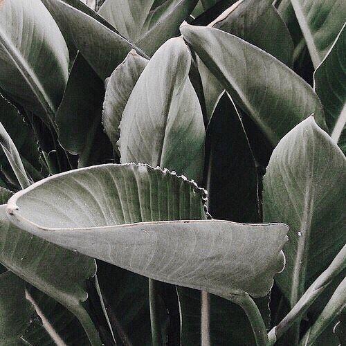 Tropical Aesthetic Green Aesthetic Banana Leafs Tumblr Inspo Laurenslipglossary Plants Tropical Plants Green Aesthetic