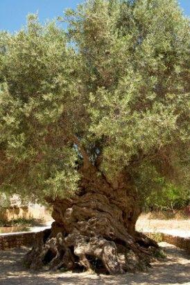 Aan de meer dan 3.000 jaar oude Olive Tree of Vouves op Kreta groeien nog steeds olijven. Deze worden tegen een dure prijs verkocht.