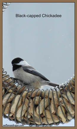 Black-capped chickadee sighted south of Montmartre, SK on January 21, 2018 by Anita Mae Draper.